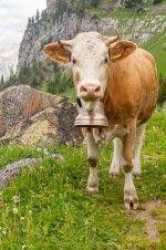 d2684a78469bd3d64603521c53c48ddb--cowbell-a-cow.jpg