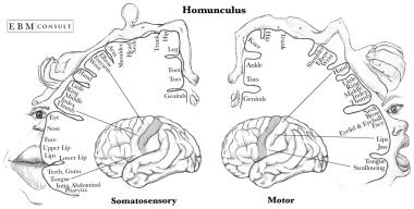 Homonculus Sensory and Motor Cortex v2.png